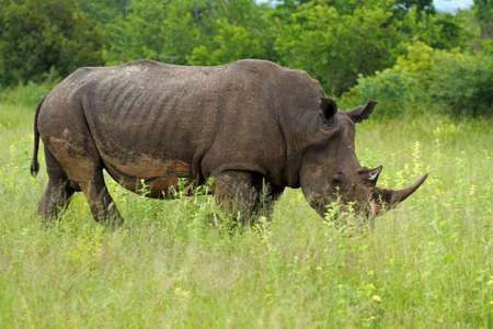 White rhinoceros, Kruger National Park, South Africa Stock Photo