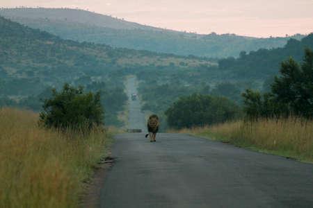 Lion, Pilanesberg National Park, South Africa Stock fotó