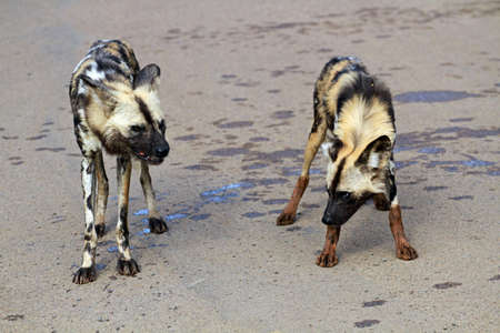 African wild dogs, Pilanesberg National Park, South Africa
