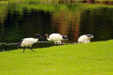 African sacred ibis, Sun City area, South Africa