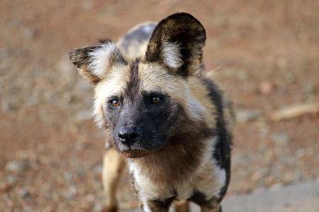 African wild dog, Pilanesberg National Park, South Africa