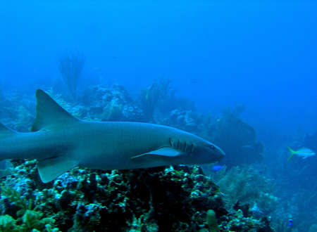Nurse shark, Ambergris Caye, Belize Stock Photo