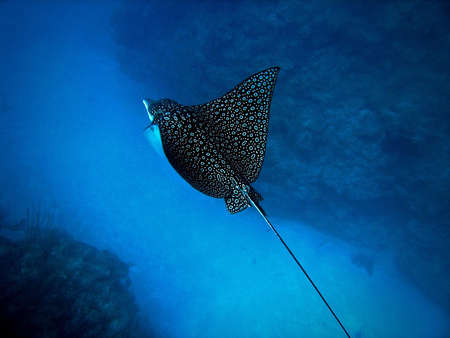Eagle Ray, Ambergris Caye, Belize