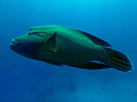 Humphead wrasse, Fury Shoal, Red Sea, Egypt