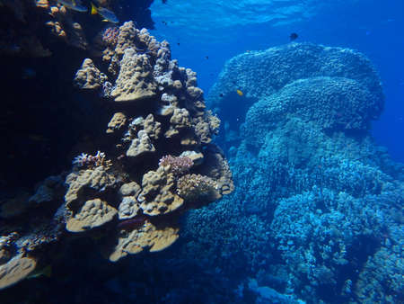 Mountain coral (Porites lutea), underwater photograph in Fury Shoal, Red Sea, Egypt