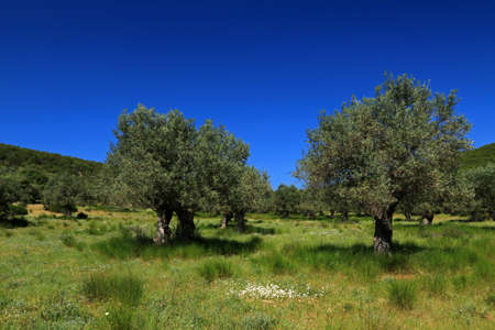 Olive grove in Sourpi village in Magnesia area, Thessaly, Greece
