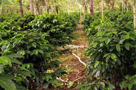 Coffee plantation near Antigua, Guatemala