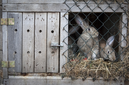 hutch: Rabbits in a wooden hutch.