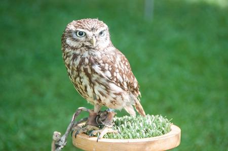 captive: Little captive owl