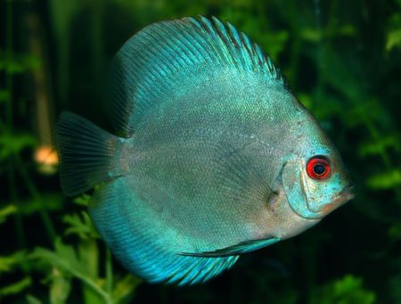 spp: Discus (Symphysodon spp.) - freshwater cichlid fishes native to the Amazon River basin. Discus are popular in aquarium fish. Stock Photo