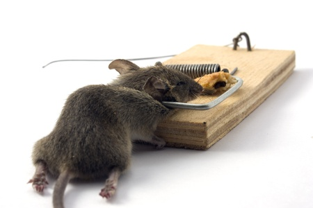 Dead mouse in a mousetrap on a white background Stock Photo - 11590636