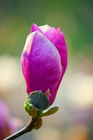 purple magnolia bud of spring blurred background photo