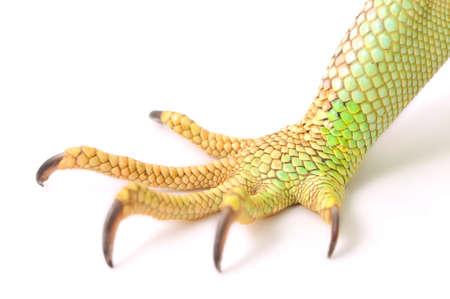 Grüner Leguan Klaue