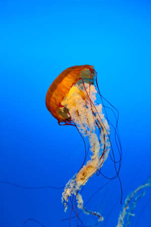 jellyfish in blue water photo