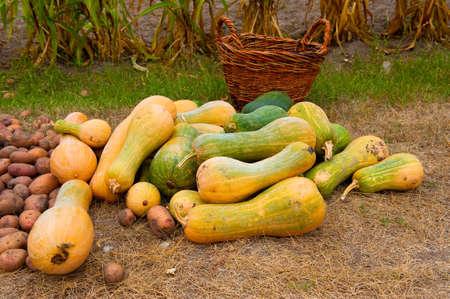 pumkin harvest photo
