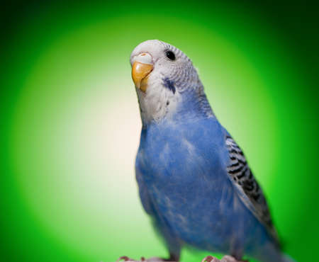one blue budgies parrot on green background photo