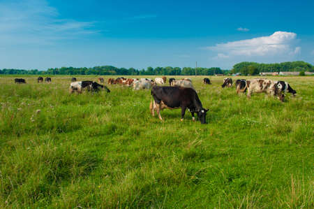 grazing land: grazing cows in ukraine Stock Photo
