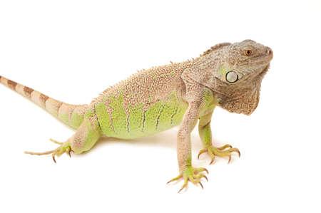 green iguana on white background Imagens