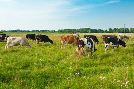 grazing cows in ukraine photo