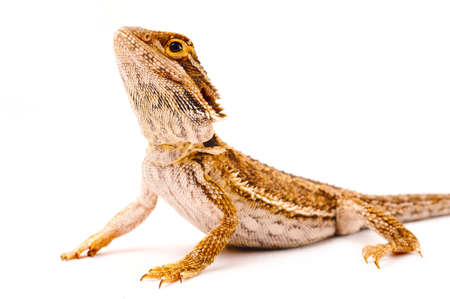 desert lizard: one agama bearded on white background Stock Photo