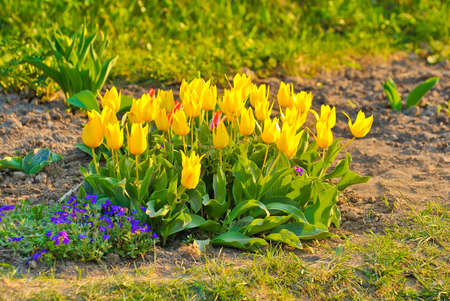 image of tulips flowers in the park photo