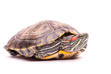 land turtle: one Pond slider isolated on the white background