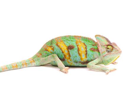 Yemen chameleon isolated on white background