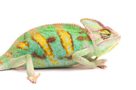 Yemen chameleon isolated on white background photo