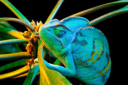 changing colors: Yemen chameleon isolated on black background