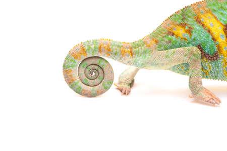 Yemen chameleon isolated on white background photo