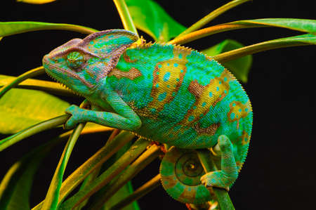 Yemen chameleon isolated on black background