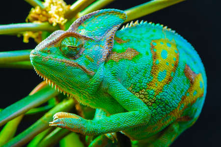 Yemen chameleon isolated on black background photo