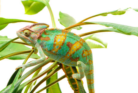 Yemen chameleon isolated on the green leaves on white background photo