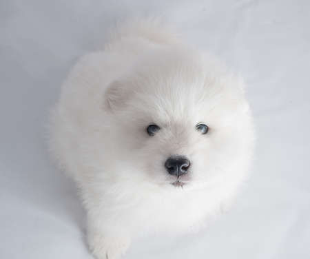 wintery day: one samoed puppy white Stock Photo