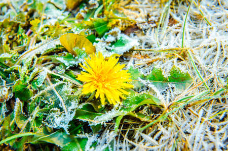 dandelion snow: one dandelion with ice on green leaves