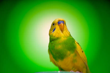 pied: one yellow parrot budgies.bird on the green background.