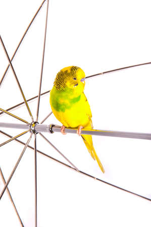 umbrela: one yellow parrot budgies.Bird sit on the white umbrela. Stock Photo