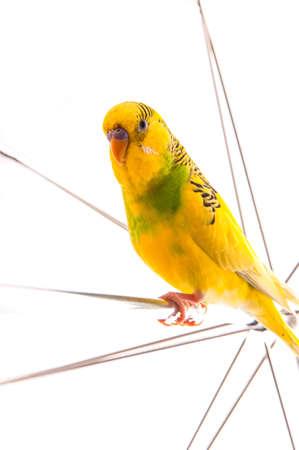 umbrela: one yellow parrot budgies.Bird sit on the white umbrela. Stock Photo