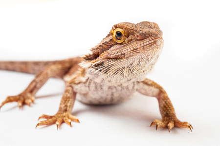 un agame barbu sur background.reptile blanc, gros plan.