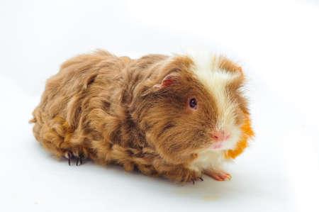 coronet: One guinea pig merino on white background