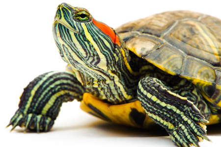 one Pond slider isolated on the white background.closeup.