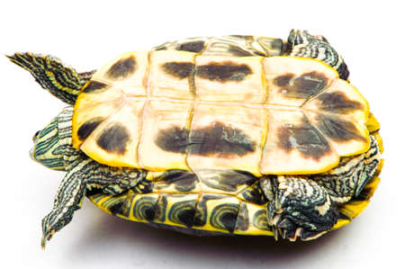 land slide: one Pond slider isolated on the white background.closeup.