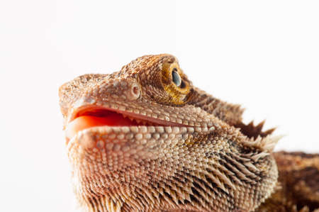 cutouts: one agama bearded on white background.reptile close-up.