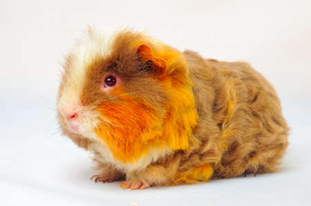 One guinea pig merino on white background Stock Photo - 69864159
