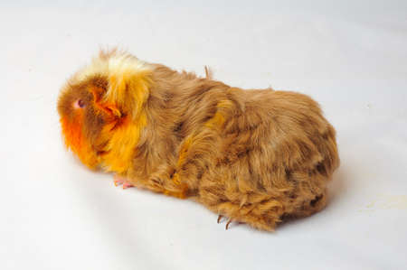 cavie: One guinea pig merino on white background