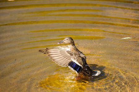 Single wild duck in summer on the lake.In the water.female. Stock Photo