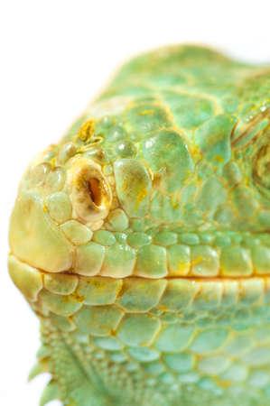 one green iguana lizard .reptile muzzle closeup