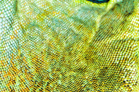 one green iguana lizard .reptile texture skin closeup Stock Photo