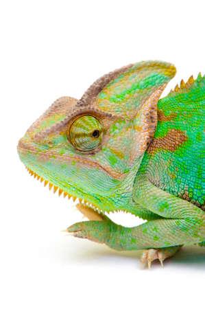 rear end: Yemen chameleon muzzle isolated on white background