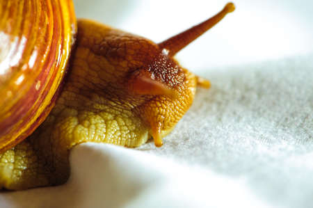 babosa: Single Snail with a beautiful shell,nice coloring,close up isolated on the white background